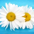 Two white daisies on blue background - Stock Photo