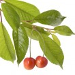 Royalty-Free Stock Photo: Cherries on a tree