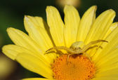 Crab spider — Stock Photo