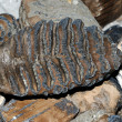 Stock Photo: Mammoth tooth