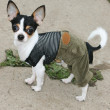Foto Stock: Puppy in clothes