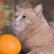 The peach cat and an orange — Stock Photo