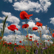 Red poppies on a blue cloudy sky — Stock Photo