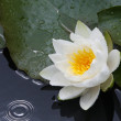 Tear and water-lily — Stock Photo