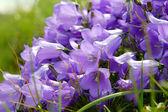 цветы колокольчики — Стоковое фото