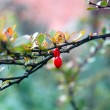Branch of barberry — Stock Photo #2593601
