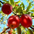 Branch with apples — Stock Photo