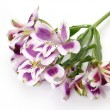 White and Purple Alstroemerias - Stock Photo