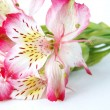 Royalty-Free Stock Photo: Closeup of Alstroemeria flower