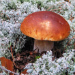 White mushroom in moss — Stock Photo