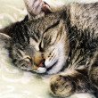 Foto Stock: Sleeping cat