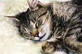 Sovande katt — Stockfoto