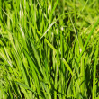 Blades of green grass - Stock Photo