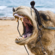 Stock Photo: Smile of camel