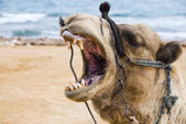 Smile of a camel — Stock Photo