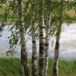 Stock Photo: Russibirches