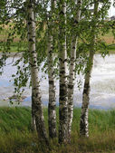 Russos birches — Fotografia Stock