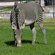 Stock Photo: Zebra