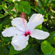 Stock Photo: HIBISCUS