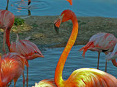 Flamingo — Fotografia Stock