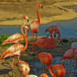 Stock Photo: Flamingo
