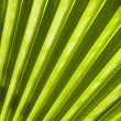 Sheet of a fan palm tree. — Stock Photo