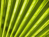 Blad av en fan palm. — Stockfoto