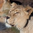 Stock Photo: Lioness close up