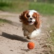 Dog running the ball — Stock Photo