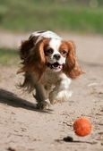 Dog catching the ball — Stock Photo