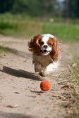 Dog running the ball — Stock Photo