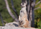Guarding Meerkat — Stock Photo