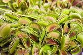 Carnivorous flower ,Darwin miss — Stock Photo