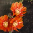 Orange cactus flower — Stock Photo