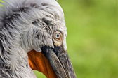 Pelican close up — Stock Photo