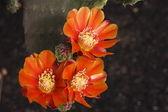 Orange cactus flower — Stock Photo