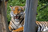Snarling Tigr — Stockfoto