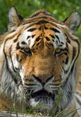 Tiger close up — Stock Photo