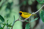 Yellow bird — Stock Photo