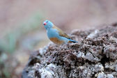 Blue bird — Stock fotografie