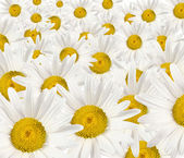 Much white daisywheels — Stock Photo