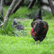 Rural cock in search of prey — Stock Photo #2490207