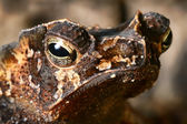Crested toad — Stock Photo