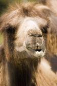 ラクダ — ストック写真