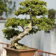 Stock Photo: Bonzai tree