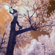 Stock Photo: Infrared Tree