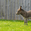 Little donkey — Stock Photo