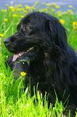 Siyah köpek yeşil çimen — Stok fotoğraf