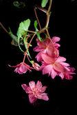 Begonia on black. — Stock Photo