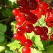 Stock Photo: Ripe red currants.